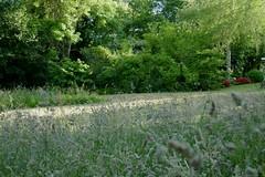 Au jardin, graminées (Poaceae), Bosdarros, Béarn, Pyrénées Atlantiques, Aquitaine, France. (byb64) Tags: bosdarros béarn biarn bearno pyrénéesatlantiques pirinioatlantikoak pirineosatlánticos aquitaine aquitania akitania aquitanien france francia frankreich eu europe europa ue 64 2020 nouvelleaquitaine jardin garden giardino garten blumen fleur flor fiore printemps primavera spring flower blossom floraison весна сад цветок حديحديقة منزلية زهرة graminée poaceae süsgräser grasses gramineae poaceas gramineas poacee зла́ки злаковые نجيلية گندمیان 禾本科