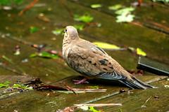 Dove (tommaync) Tags: dove bird animal wildlife nature nikon d7500 chathamcounty chatham nc northcarolina september 2018