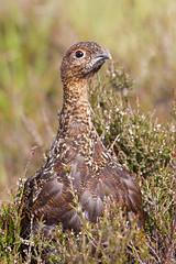 Red Grouse (JaneTurner68) Tags: redgrouse grouse bird moorland lochindorb scottishhighlands scotland canon1dmkiv canon100400mmmkiilens canon