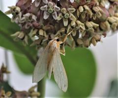 Still looking to ID (reinap) Tags: orangemoth beigemoth whitebutterfly whitemoth