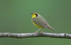 Kentucky warbler Lake hope oh. (mandokid1) Tags: canon 1dx ef600mm11 birds warblers