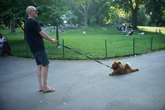 Unyielding (dtanist) Tags: nyc newyork newyorkcity new york city sony a7 7artisans 35mm manhattan central park dog pet owner unyielding stubborn chow