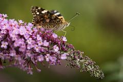Top of the world (Sebo23) Tags: butterfly schmetterling macro makro makrofotografie insekt insect bokeh bokelisious nature naturaufnahme natur nahaufnahme canoneosr canon10028l