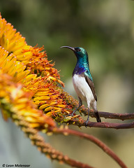 White-bellied Sunbird (m) (leendert3) Tags: leonmolenaar southafrica krugernationalpark wilderness wildlife wildanimal nature naturereserve naturalhabitat bird whitebelliedsunbird ngc npc naturethroughthelens