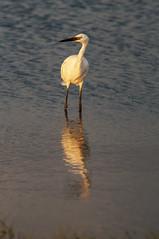 _DSC3393 (Joe Meyer) Tags: santarosaisland florida navarre whitemorph reddishegret shorebirds birds wildlife nature