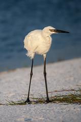 _DSC3403 (Joe Meyer) Tags: santarosaisland florida navarre whitemorph reddishegret shorebirds birds wildlife nature