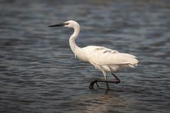 _DSC3455 (Joe Meyer) Tags: santarosaisland navarre florida nature wildlife birds shorebirds whitemorph reddishegret