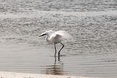 _DSC3463 (Joe Meyer) Tags: santarosaisland navarre florida nature wildlife birds shorebirds whitemorph reddishegret