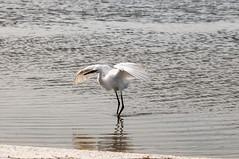 _DSC3464 (Joe Meyer) Tags: santarosaisland navarre florida nature wildlife birds shorebirds whitemorph reddishegret