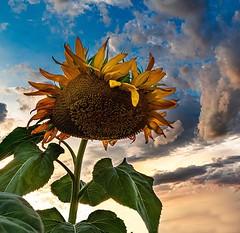funslower (kmetz12.km) Tags: lightroom photoshop sony albuquerque harvest southwest newmexico newmexicosky sky flower sunflower hdr