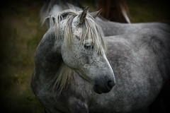 Coy (PentlandPirate of the North) Tags: horse pony welsh mountain penmaenmawr