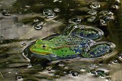 DSC07972 (Argstatter) Tags: wassertropfen wasserfrosch natur frogs balz grün tier
