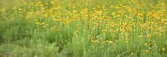 FELIZ DOMINGO..HAPPY SUNDAY (su-sa-ni-ta) Tags: campo florido flores silvestres margaritas amarillas manzanilla flowers nature argentina hoy today cordoa vacaciones julio 2019 invierno