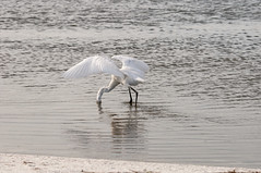 _DSC3468 (Joe Meyer) Tags: santarosaisland navarre florida nature wildlife birds shorebirds whitemorph reddishegret