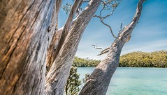 Be like a tree. Stay grounded. Connect with your roots and keep growing. (catrall) Tags: australia australien nikon d750 fx sigma lens 24105 february 2019 art tasmania tasmanien nature landscape tree trees wood white blue green limb limbs ground grounded connect root roots growing lake water forest lakedobson