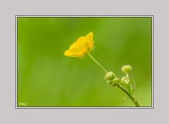 La bouton d'or !! (thierrymazel) Tags: fleurs flowers bouton or bokeh pdc dof profondeurdechamp jaune yellow vert green