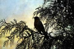 chirp chirp chirp (1crzqbn) Tags: silhouette bird bokeh sliderssunday inmygarden outside light 1crzqbn textures