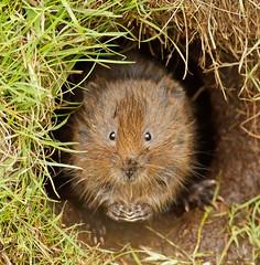 Water Vole (Mrs Scattercushion) Tags: water vole sheffield yorkshire burrow grass mammal