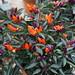 Große Chili Austellung Botanischer Garten RUB