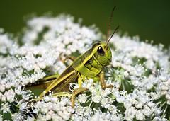 Grasshopper sp. (Boganeer) Tags: flower green eye nature animal forest canon insect flora blossom fredericton perch bloom rest grasshopper canoneos universityofnewbrunswick unbwoodlot canon600d canont3i canonrebelt3i arthropod antenna