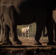 Eland (michael heyns) Tags: clovenhoofedmammals mashatu eland 2019 eventoedungulates mammal artiodactyla bovidae taurotragusoryx