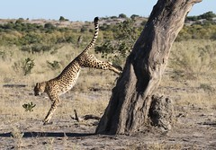 Cheetah in mid air jumping down from tree (Paul Cottis) Tags: savute savuti botswana africa bigcat cheetah paulcottis 23 june 2019 jump
