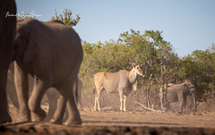 Eland (michael heyns) Tags: clovenhoofedmammals mammal eland 2019 eventoedungulates mashatu artiodactyla bovidae taurotragusoryx