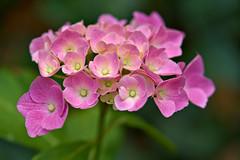 Hydrangea (pstenzel71) Tags: blumen natur pflanzen hydrangea hortensie darktable flower bokeh