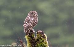 Little Owl in the rain. (stanley.ashbourne) Tags: littleowl rain nature wildlife stanashbourne wildlifephotography unitedkingdom