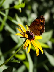 Small Butterfly on Yellow Flower (Constantine L.) Tags: canon yellow flower insect nature butterfly g7x