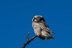 Nordic Hawk Owl (bholmbom81) Tags: nature pine owl nordic arcticclimate nordichawkowl bjornholmbom björnholmbom carlzeissteletessar300mmf4