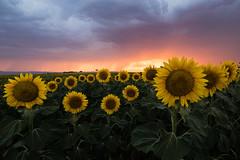 Stormy sunset (Tekila63) Tags: sunset auvergne storm sunflowers limagne france tournesols