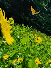 In flyby (PinoyFri) Tags: sunflowers schmetterling butterfly passer pass pasar alibangbang mariposa papillon 蝶 mirasol tournesol girasol ayçiçeği naturally