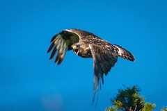 Nordic Rough-Legged Buzzard (bholmbom81) Tags: roughleggedbuzzard fjällvråk buzzard roughlegged bjornholmbom björnholmbom carlzeissteletessar300mmf4