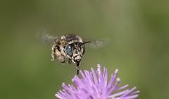 Green-eyed flower bee ~ Anthophora bimaculata {explored} (Cosper Wosper) Tags: explore explored arne dorest greeneyedflowerbee anthophorabimaculata flower green pretty hovering tongue bee flight
