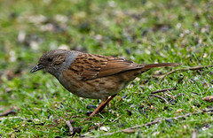 Dunnock / Hedge Sparrow (JerryGoulet) Tags: hedgesparrow dunnock colors birds wild outside tree green foliage highiso animals d500 sigma infinitexposure uk cambridgeshire lights dark conservancy exposure england angle wildnerness nature light lowlight midlands contemporary young male spring outdoors wildlife individuality portraits volunteer zoom telephoto summer conservationism naturereserve female bird color animal face feathers sigma150600 colour lowangle experience faces juvenile colours out water pond pool unitedkingdom paxtonpitsnaturereserve excellence xtreme closeup contrast cute conservation beak eye british greatbritain lake nikon natural vegetation