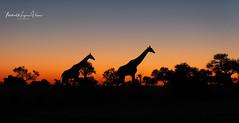 Giraffe Sunset (michael heyns) Tags: mashatu giraffe giraffeandokapi 2019 eventoedungulates mammal artiodactyla giraffacamelopardalis giraffidae