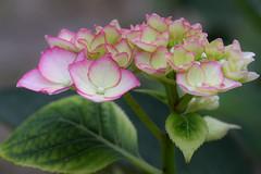 Shimmering (Marilely) Tags: hydrangea flower garden hortensie blume blüten garten pink weis grün white green