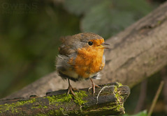 Robin (OwenSPhotography) Tags: bird birds photo photography nature natural wild life wildlife england robin branch branches wood green moss