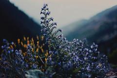 déjà vu VII (Damla Özcan) Tags: nature trabzon zigana mountain landscape cow animal dreamy sky clouds blue color canon eos 5d mark ii 50mm f14