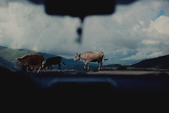 déjà vu IV (Damla Özcan) Tags: nature trabzon zigana mountain landscape cow animal dreamy sky clouds blue color canon eos 5d mark ii 50mm f14