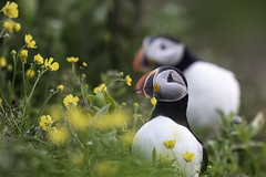 Buttercups and puffins (Khurram Khan...) Tags: flowers wild canada ilovenature quebec wildlife naturephotography wildlifephotography ilovewildlife iamnikon khurramkhan wwwkhurramkhanphotocom