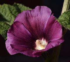 Deep purple #1 (MJ Harbey) Tags: hibiscus purplehibiscus rosid malvales malvaceae malvoideae hibisceae flower stowegardens northamptonshire nationaltrust nikon d3300 nikond3300
