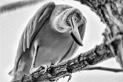 Get out! (kceuppens) Tags: spoonbill lepelaar bird vogel antwerpen antwerp zoo dierentuin zwart wit black white bw blackandwhite nikon d810 nikkor 80400 nikond810 nikkor80400afs captive gevangenschap zoovanantwerpen boom tree