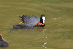 19SHR294 Coot and chick, Priorslee Flash (bentolley1) Tags: england telford shropshire animal bird waterfowl lake water coot chick
