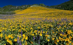 Crested Butte Hillside in Bloom (SWR Chantilly) Tags: balsamroot bloom colorado rockies crestedbutte july