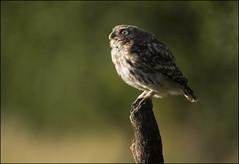 Little Owl (Craig 2112) Tags: little owl bird wild yorkshire athenenoctua