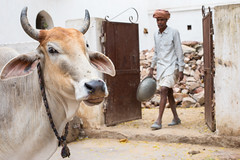 The Streets, Pushkar (Geraint Rowland Photography) Tags: bokeh cattle hindu animal indiantravel india thestreets pushkar turban headscarf worker indianworker farming streetportrait canonindiacanonphotography geraintrowlandindiaphotographystreets poverty southasia travelindia