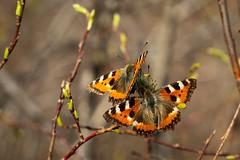Small tortoiseshell (bholmbom81) Tags: butterfly spring forrest tortoiseshell smalltortoiseshell goatwillow canonfd50mm20 bjornholmbom björnholmbom