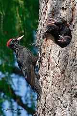 Picchio nero (silvano fabris) Tags: canonphotography wildlifephotography photonature nature uccelli birds animals picoidesmajor picchionero